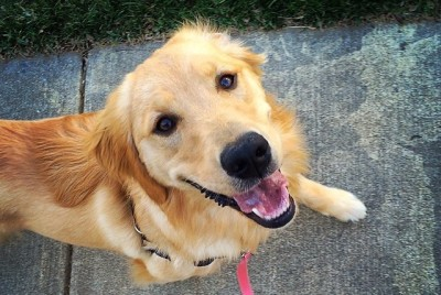 Welcome To The Golden Retriever Club Of Greater Los Angeles Rescue